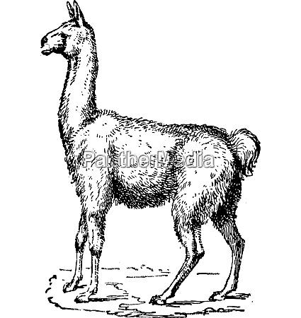 lama vintage gravur