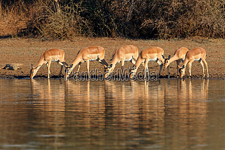 impala antelopes drinking water kruger