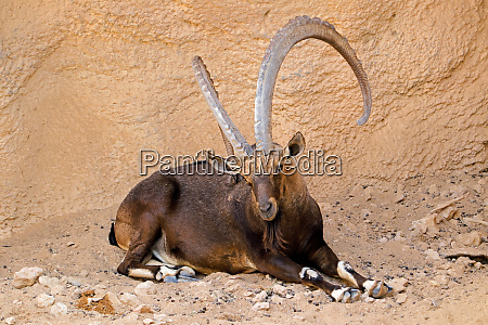 grosser maennlicher nubischer steinbock