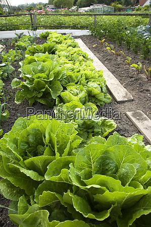 romain salat auf einem gemuesegarten pflaster