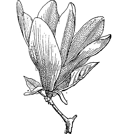 magnolia oder magnolia sp vintage gravur