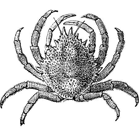 europaeische spinne krabbe oder maja squinado