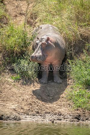 hippo steht in grasbewachsenem gullydrehkopf