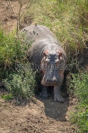 hippo steht in grasbewachsenen gully stonen