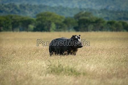 hippo steht in langen gras augenkamera