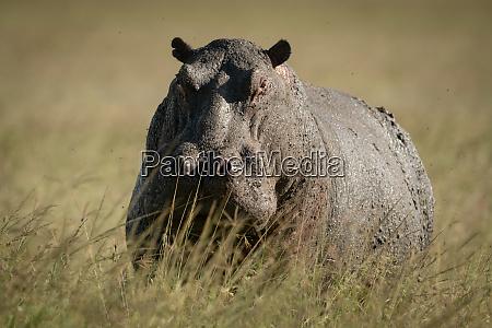 hippo steht im hohen gras und