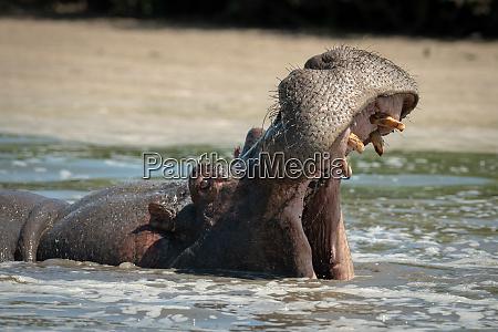 hippo oeffnet mund weit in schaumigen