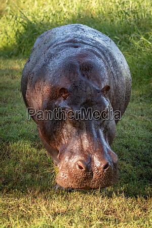 hippo steht auf rasen rasen mit