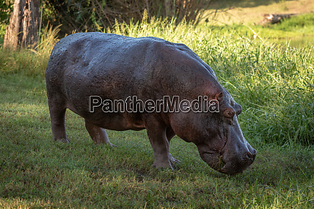hippo steht auf rasen am schilfbedeckten