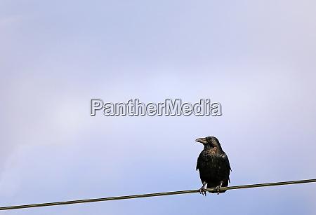 rabenkraehe corvus corone corone