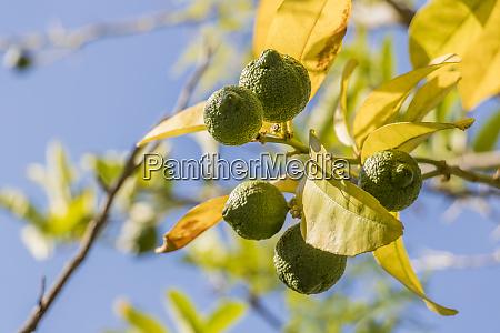 lime, zitronenbaum, in, gärten, von, kapstadt, südafrika. - 27642270