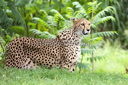 cheetah in a clearing a portrait