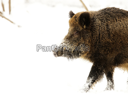 wild boar in the snow a