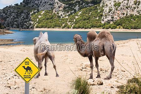 kamel warnschild