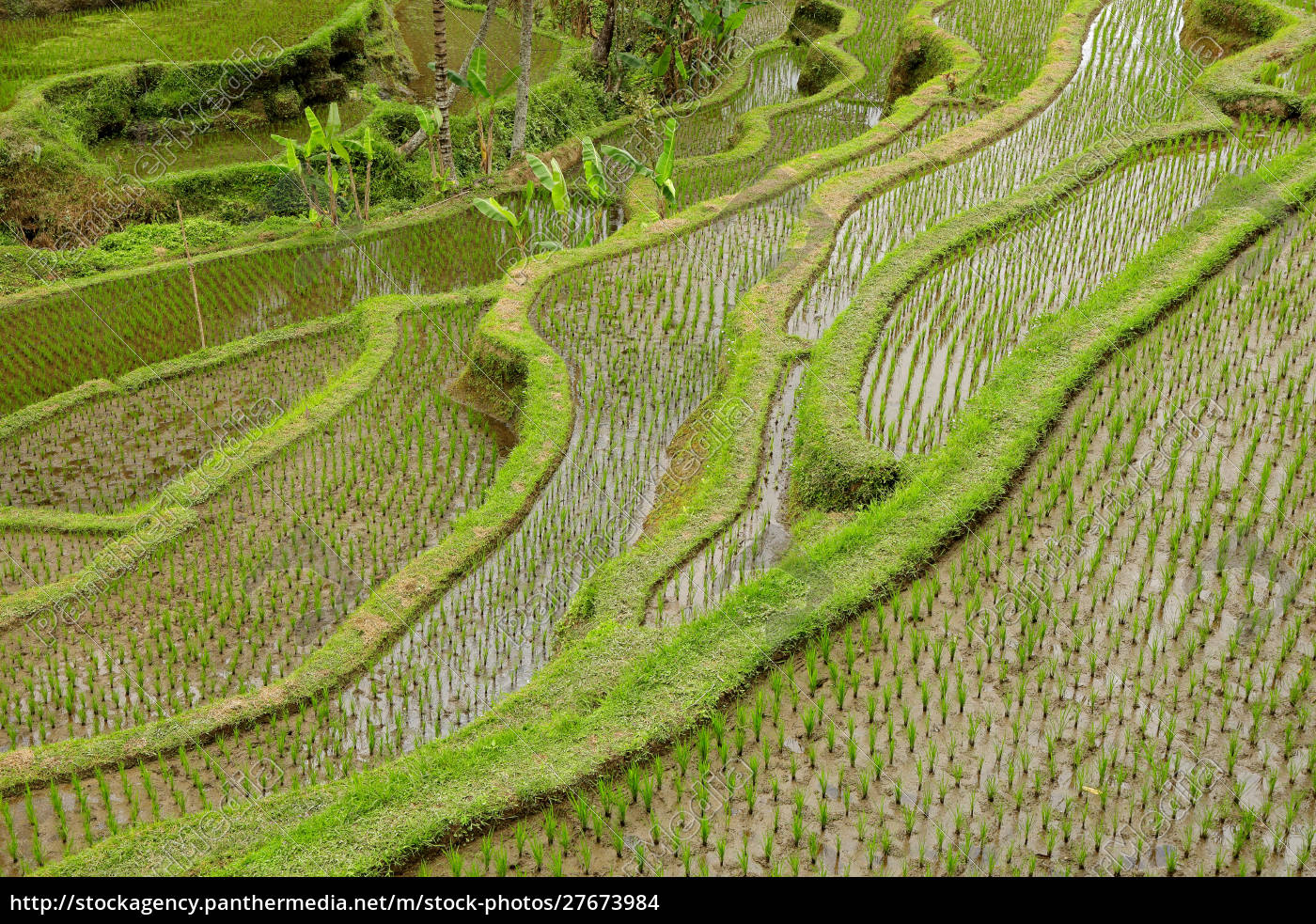 tegallalang, rice, terraces, -, bali, - 27673984