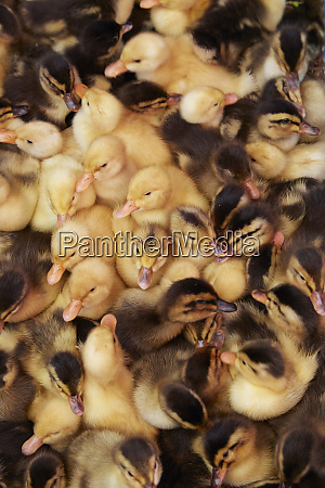 ducklings can duoc market long an