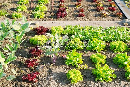 frische junge gruene und rote salatpflanzen