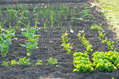 frische junge gruene salatpflanzen auf einem