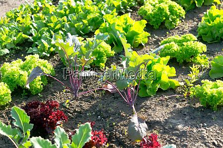 frische junge kohlrabi und salatpflanzen