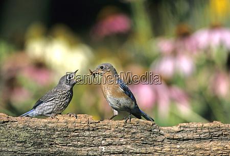 eastern bluebird sialia sialis weibliche fuetterung