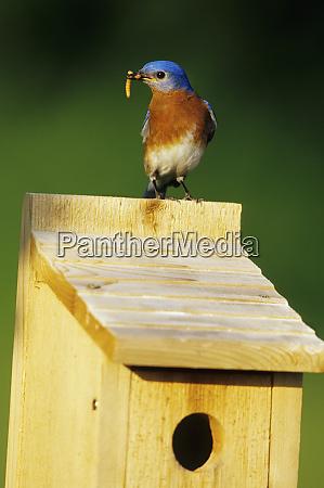 eastern bluebird sialia sialis maennlich mit