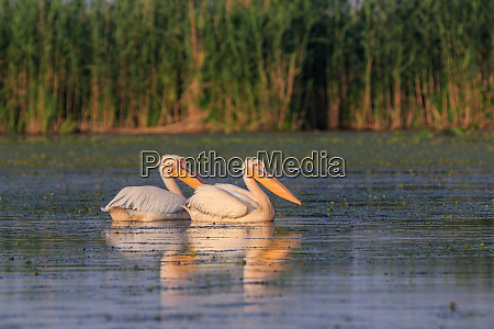 weiss pelikane im donaudelta rumaenien