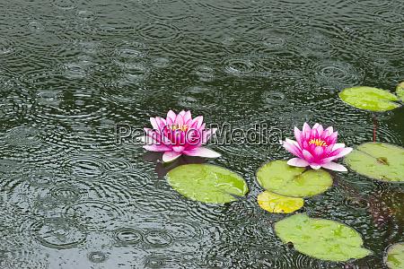 lily pond suzhou jiangsu province china