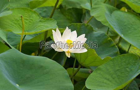 lotusblume china