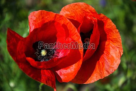red poppy deutschland