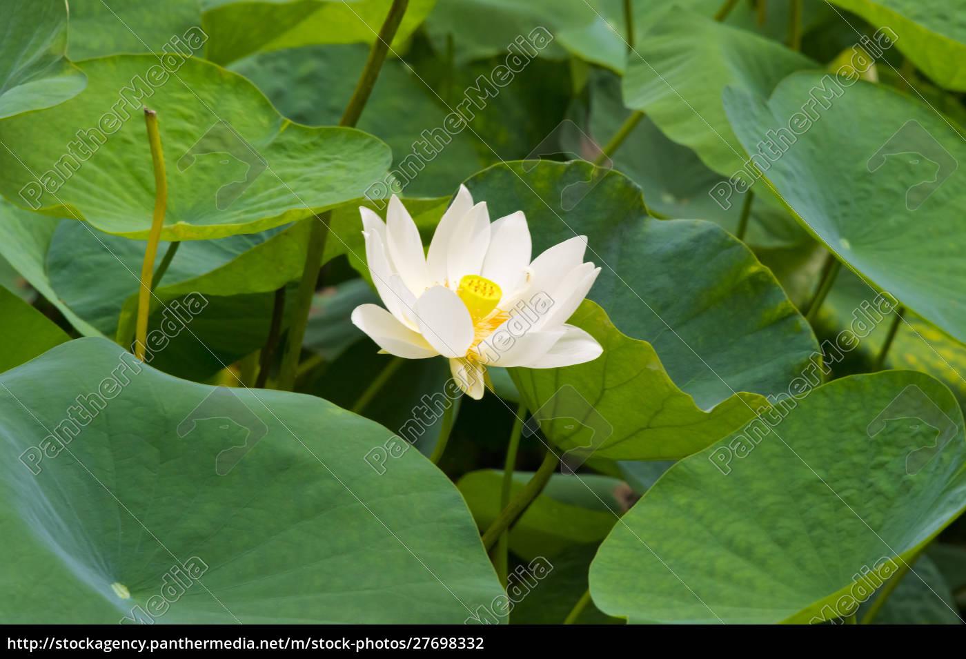 lotusblume, china - 27698332