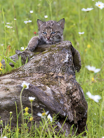 usa minnesota sandstone baby bobcat kitten