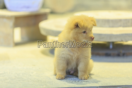 chow chow puppy nanfeng kiln oldest