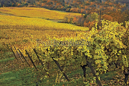 usa oregon willamette valley rows of