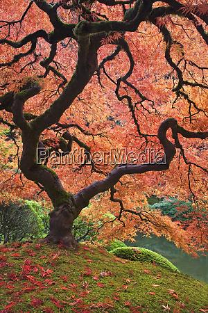usa oregon portland japanese maple trees