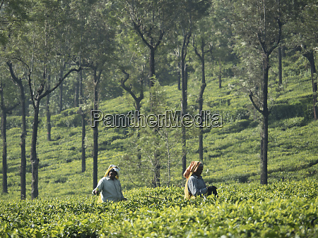 tea estate workers in fields in