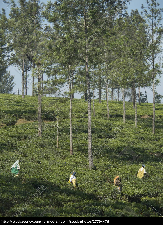 tee-landarbeiter, auf, feldern, in, den, anaimalai - 27704476