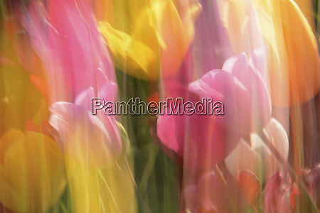 motion blurred tulips at tulip festival