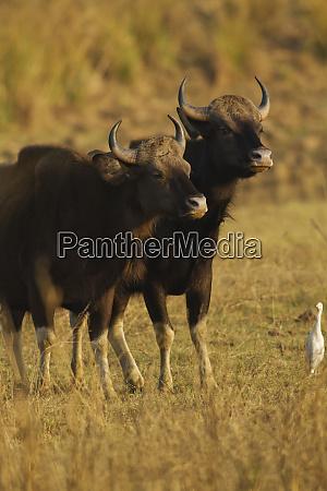 paar indian gaur tadoba andhari tiger