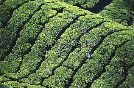 tea pickers munar kerala india