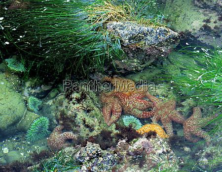 usa oregon nepture sp starfish and