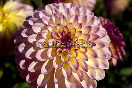 usa oregon willamette valley delicate lavender