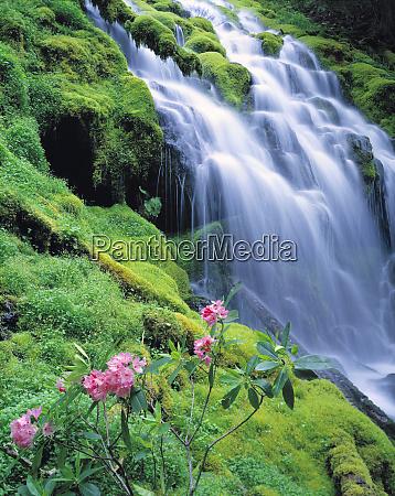 usa oregon proxy falls rosa rhododendron