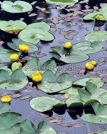 usa oregon cascades range yellow pondlilies
