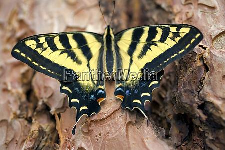 usa oregon bend western tiger swallowtail