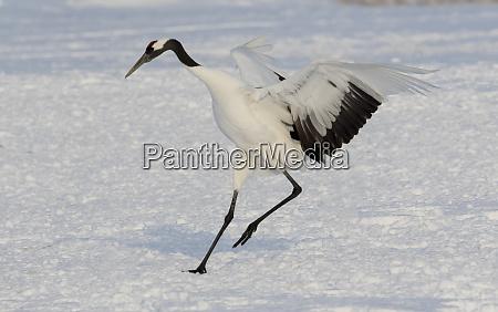 red crowned crane winter snow hokkaido