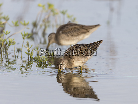 long billed dowitcher feeding along bank