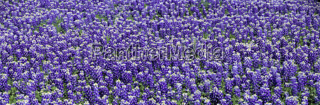 usa texas llano bluebonnets the texas