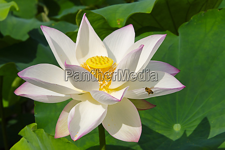 lotus flower kyoto japan