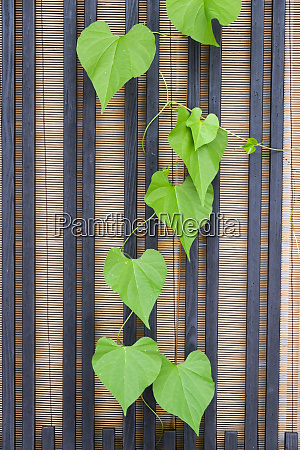 ivy by the bamboo window in