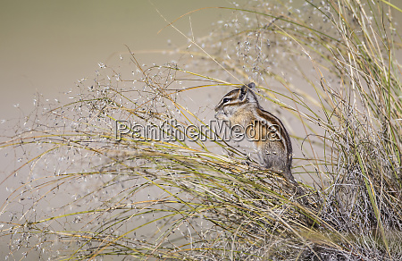 usa wyoming sublette county least chipmunk